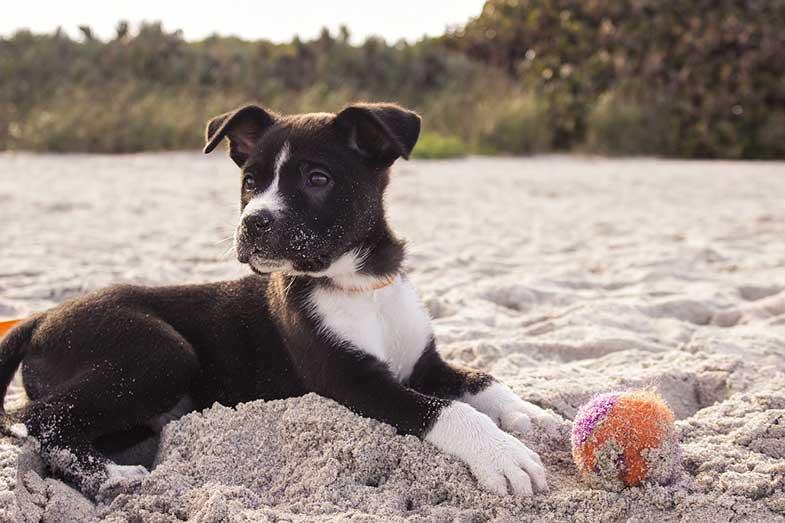 Beach Dog Puppy with a Ball